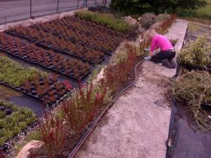 Claire ayuda retirando malas hierbas
